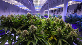 Will Aurora, Canopy, Cronos, and Tilray Be Profitable by 2021?